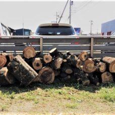 白樫の木 薪