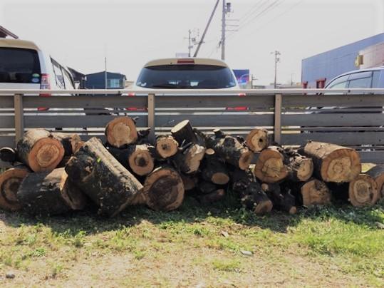 白樫の木 薪割り