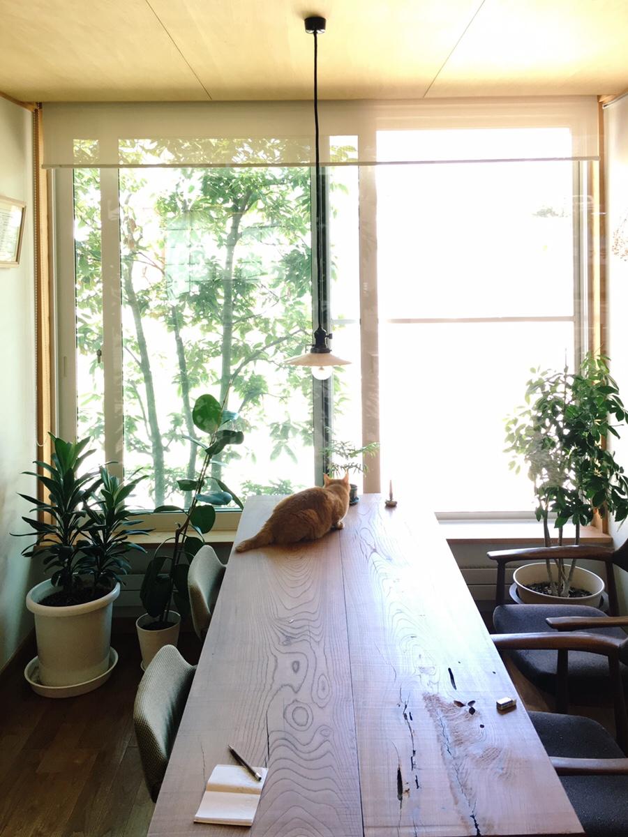 窓ぎわのアラカシに来た鳥に、獲物捕獲モードの猫