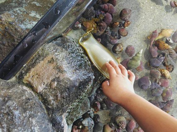 加茂水族館タッチ水槽、サメの卵