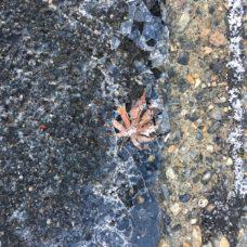 凍った水たまりに紅葉