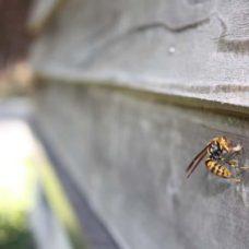 家に巣をつくるアシナガバチ