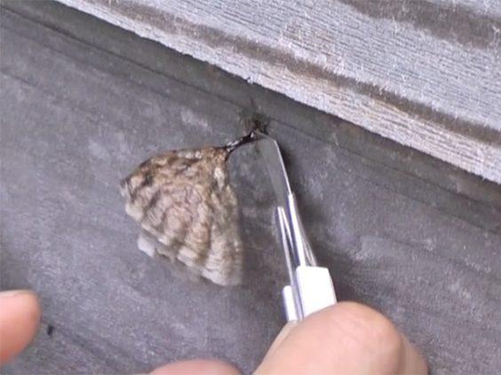 住宅地のアシナガバチの巣を切り離す