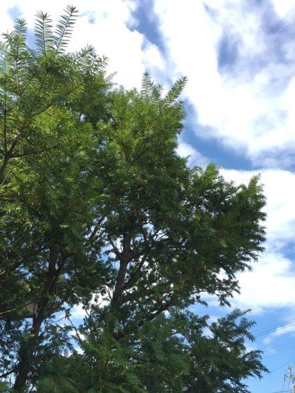 常緑針葉樹のカヤノキは建物の角に植えると良い