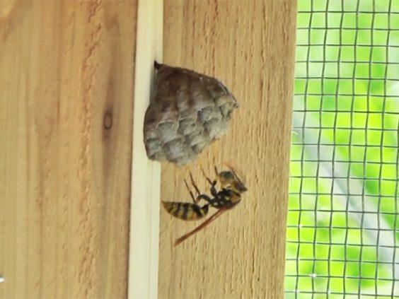 移植したアシナガバチの巣に女王蜂がイモムシを運ぶ