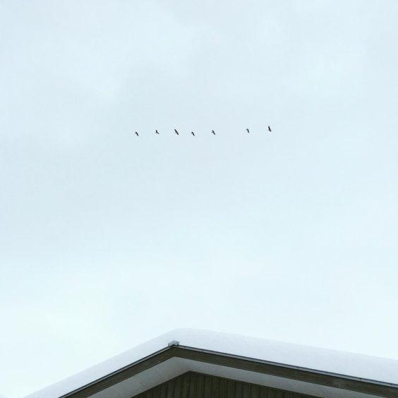 まちなか山荘の上を飛ぶヒシクイの群れ